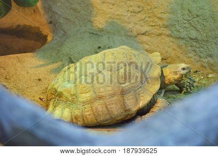 The marginated tortoise (Testudo marginata) in terrarium.