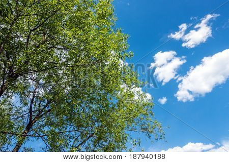 Beautiful trees on sky background. Trees and sky