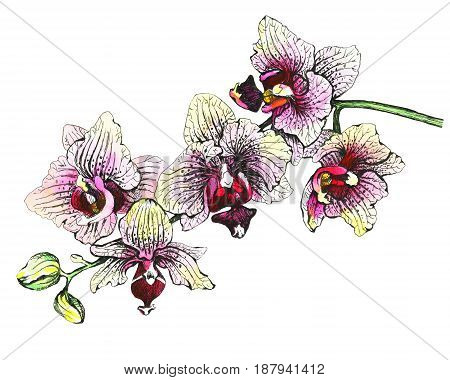 The branch of blossoming tropical pink flowers orchids, close-up ( Phalaenopsis, orchis). Hand drawn graphic and watercolor painting illustration on white background.