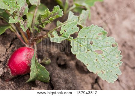 Radish growing in the garden with spoiled leaves.