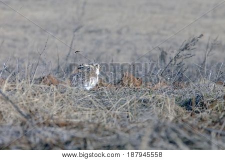 Lone Wild Brown Hare
