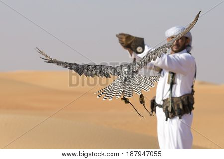 falcon is flying towards a falconer in a desert near Dubai