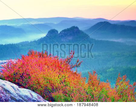 Pink Red Blooming Of Heather Bush On Cliff  In The Summer. Misty Valley Bellow.