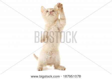 Ginger kitten isolated on a white background