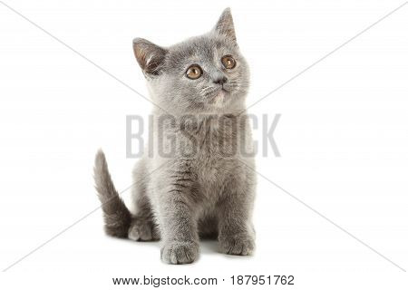 Grey kitten isolated on a white background