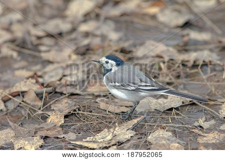 Wagtail On The Ground Walks