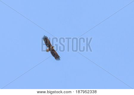 Handsome Eagle Flying High In The Sky