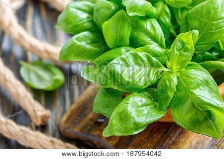 Green Basil Leaves Closeup.