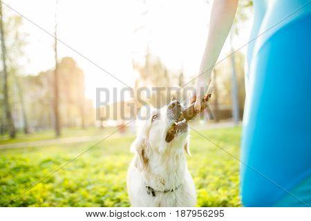 Girl giving labrador dog stick on spring walk