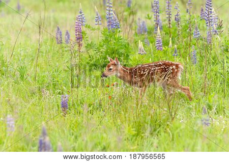 White-Tailed Deer Fawn (Odocoileus virginianus) Walks Through Grass - captive animal