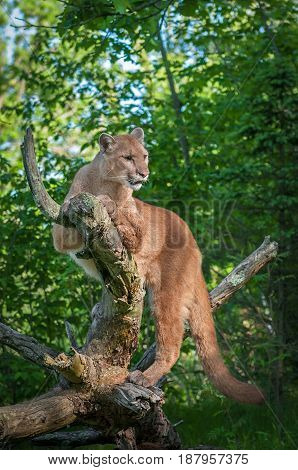 Adult Female Cougar (Puma concolor) Lounges on Roots - captive animal