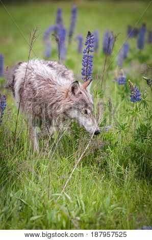 Grey Wolf (Canis lupus) Sniffs in Field - captive animal poster