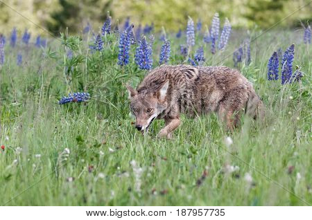 Coyote (Canis latrans) Waslks Past Lupin Patch - captive animal