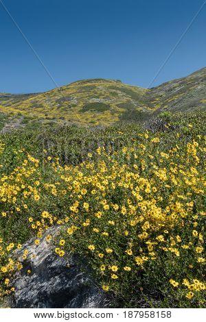 Hillside Covered By California Brittlebush