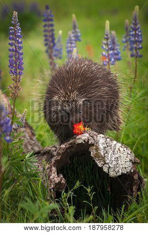 Porcupine (Erethizon dorsatum) Examines Flower - captive animal