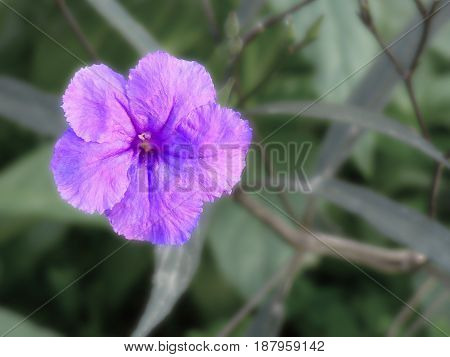 Purple flower. Foreground of a flower. Flower close-up. Five petals