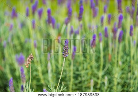 Beautiful Lavender flower on meadow nature background