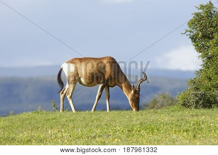Red Hartebeest grazing Addo Elephant National Park Eastern Cape South Africa