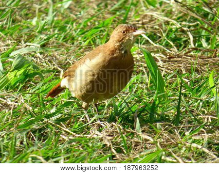 Hornero bird. Brown bird landed at the soil. It's looking for food among the grass. Furnarius Rufus. Sunny day. Native from South America (Argentina, Uruguay, Brazil, Paraguay, Bolivia). This bird build its nest with mud and other materials. Commonly loca