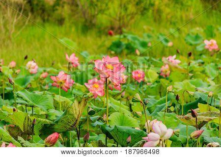 Pink Lotus flower and Lotus flower plants