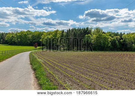 Young Corn Crop Furrows, Plantation, Cultivated Agricultural Field, Agriculture And Organic Producti