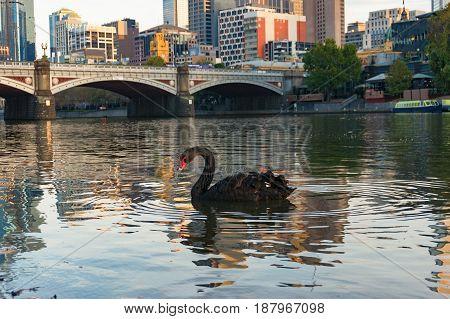 Beautiful Black Swan Swimming In Yarra River