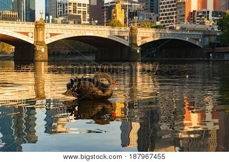 Beautiful Black Swan On Yarra River With Melbourne Cityscape On The Background