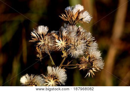 A group of dried wildflowers with brown and silver fuzzy dried blooms, on a blurred dark background.