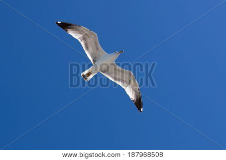 Seagull flying on clear blue sky and sun light