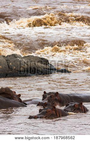 A herd of hippos on the Mara River. Masai Mara, Kenya