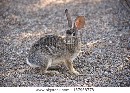 Little cottontail rabbit sitting and looking around