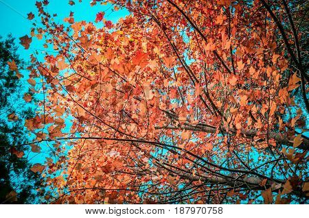 Orange Leaves On Tree Branches And Sky In Autumn.