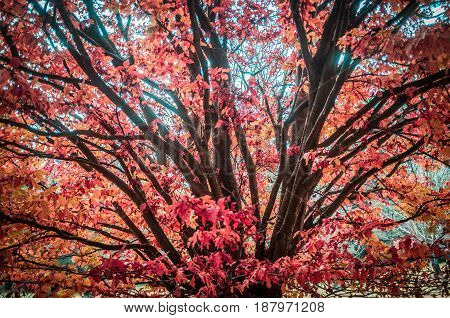 Red And Orage Leaves On A Beautiful Tree In Autumn - Closeup.
