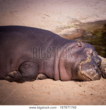 Large Hippo Laying In The Sand. Hippopotamus Is A Large Omnivorous Mammal.