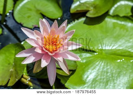 Beautiful blooming pink water lily (lotus) with a foraging bee blurred lotus leaves in background with bokeh in the pond take photo from Thailand.