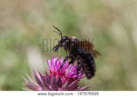 A violet carpenter bee (Xylocopa violacea) on a thistle flower.