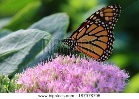 Monarch butterfly on a blooming sedum plant