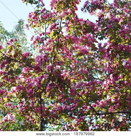 Bloom of decorative apple tree (Malus niedzwetzkyana). Branches with pink flowers.