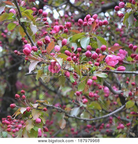 Flowers of decorative apple tree (Malus niedzwetzkyana). Beautiful spring blossom.