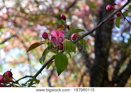 Blooming apple tree with decorative pink flowers (Malus niedzwetzkyana).