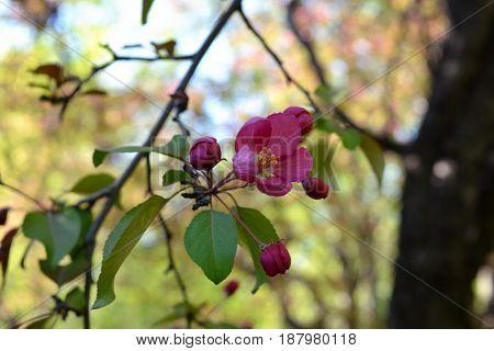 Beautiful pink flowers and buds of decorative apple tree (Malus niedzwetzkyana).