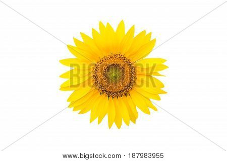 Beautiful sunflower isolated on a white background.