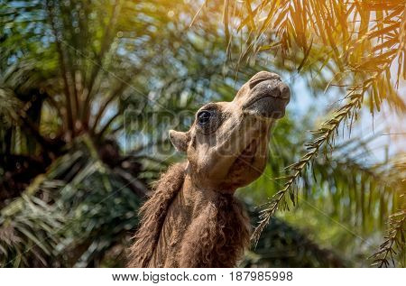 Camel on the background of trees with his head on a Sunny day.