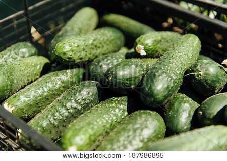 Green fresh cucumber in plastic box on sale at grocery food store. Buy natural ingredients for healthy eating. Close up, overhead shot