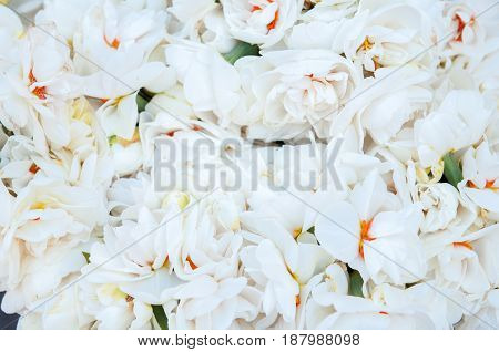 beautiful bouquet of white Velvet daffodils background