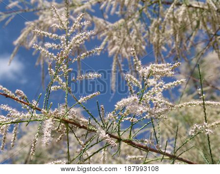 Beautiful spring background - branches of blossoming white flowers clear blue sky