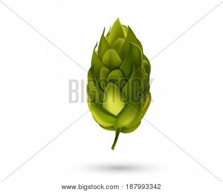 Young fir cone bud isolated on white background. Beer hop Vector illustration