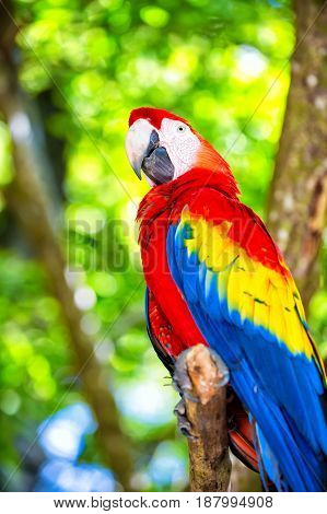 beautiful cute funny bird of red blue yellow feathered ara parrot outdoor on green natural background