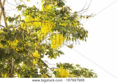 Beautiful yellow bloom flowers Tabebuia argentea BrittSilver trumpet tree Tree of gold Paraguayan silver trumpet tree in white background