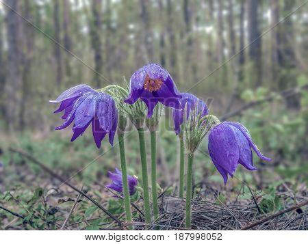 Colorful Purple Crocuses